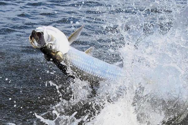 Tarpon Splashing On Fishing Line